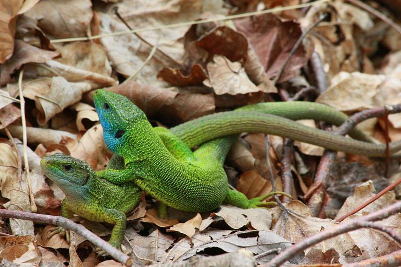 I když tento párek jsou jasné Lacerta viridis, u některých jedinců bylo určení horší