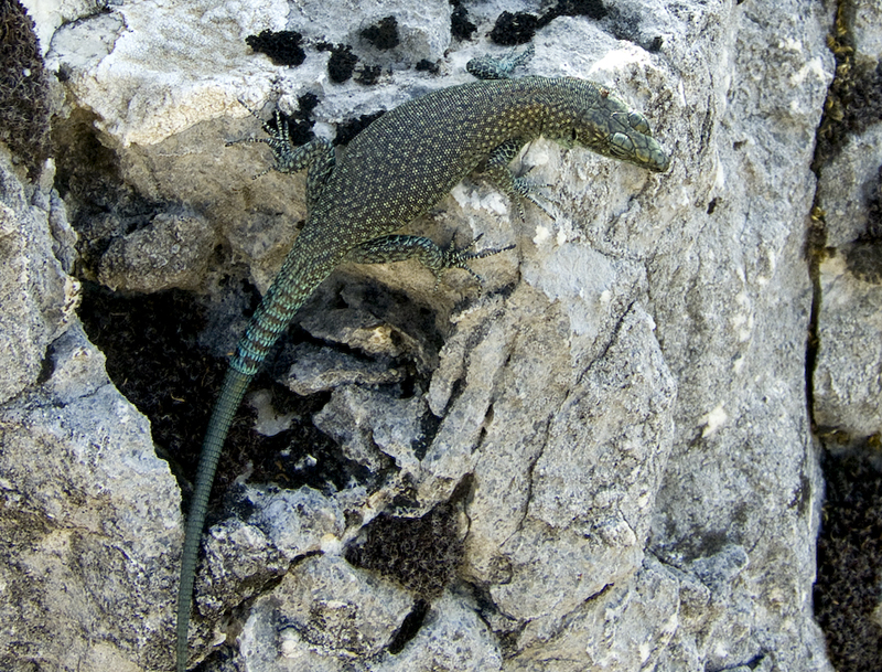 Dalmatolacerta oxycephala