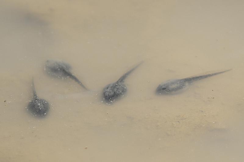 Bufo/Pseudepidalea sp.