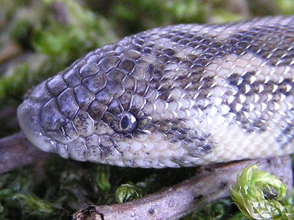 Eryx jaculus