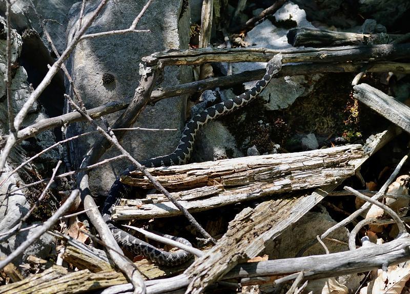 Vipera ammodytes