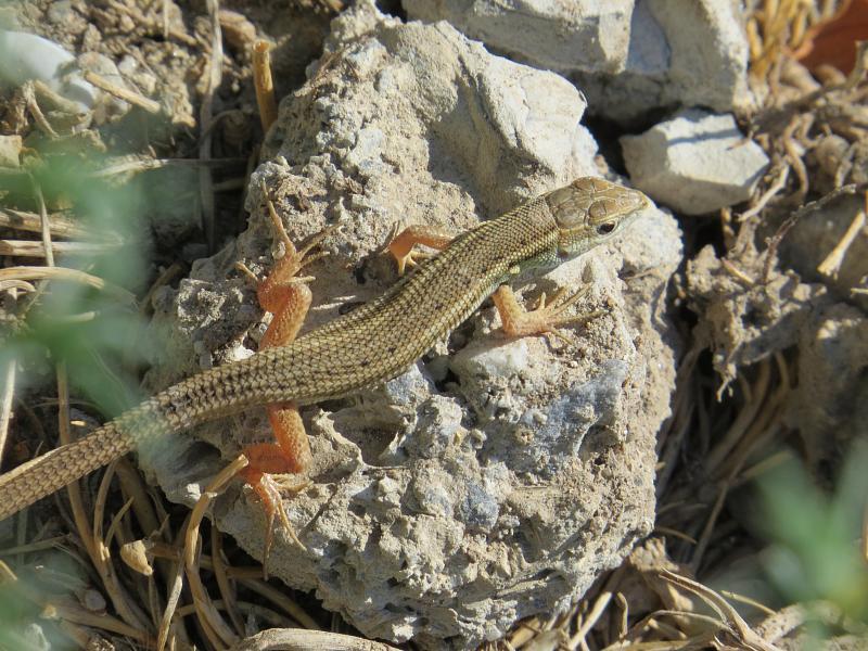 Ophisops elegans