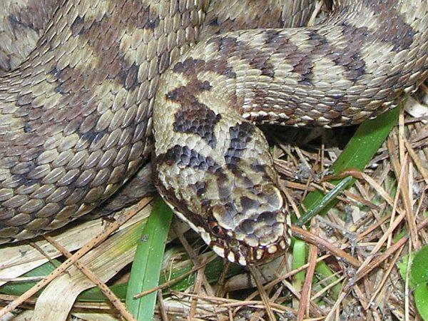 Vipera berus zmije obecná