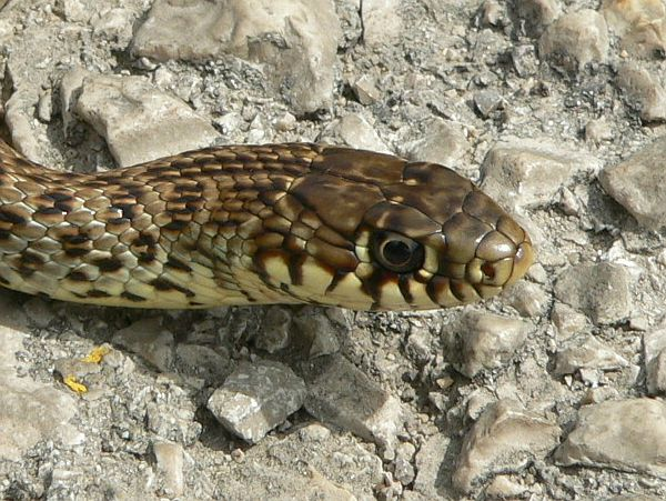 Hierophis gemonensis