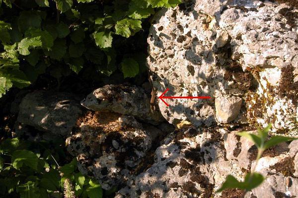 Algyroides nigropunctatus