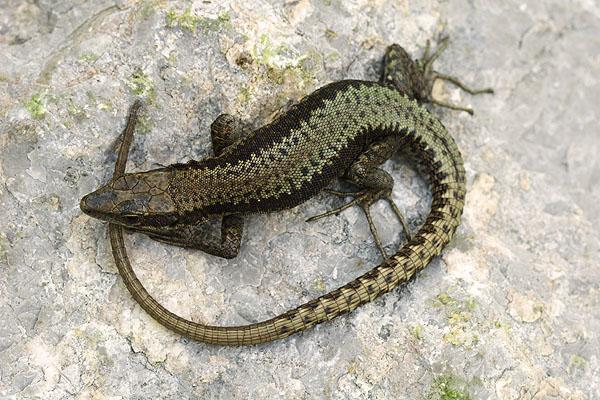 Iberolacerta horvathi