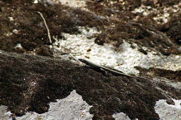 Podarcis erhardii