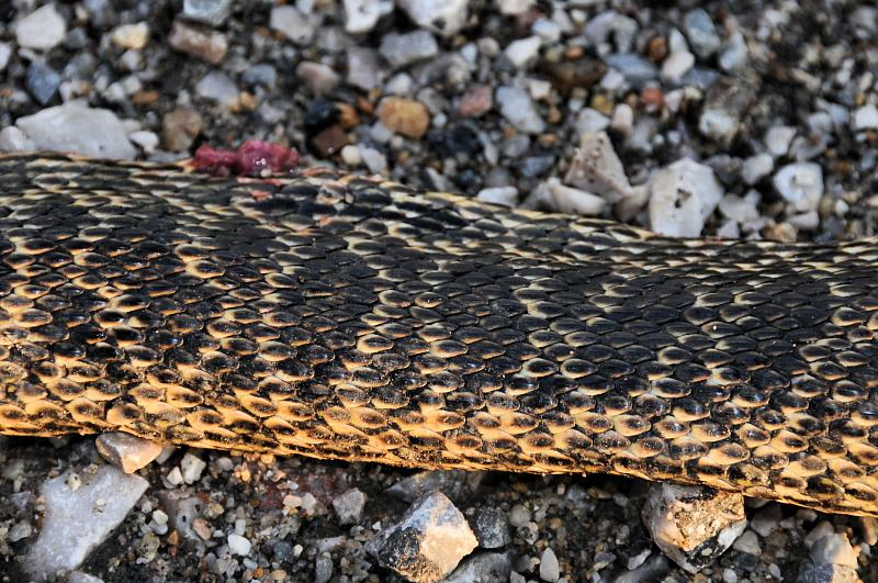 Elaphe sauromates