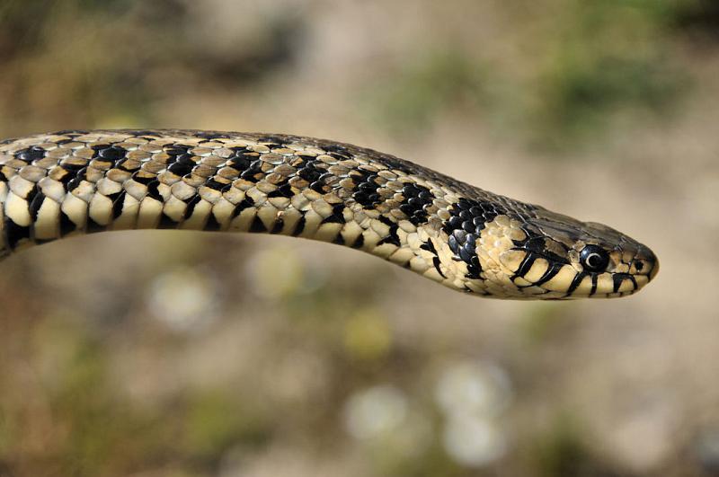 Natrix natrix