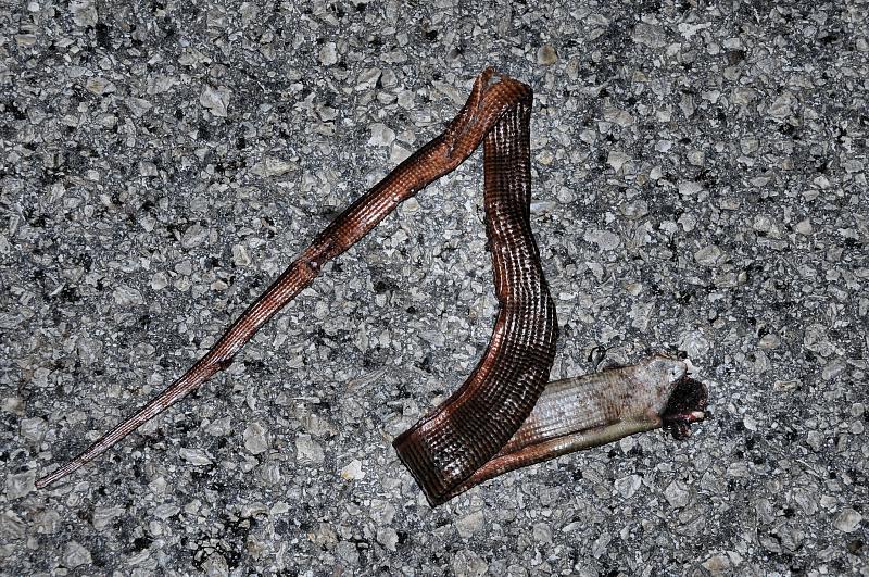 Pseudopus apodus