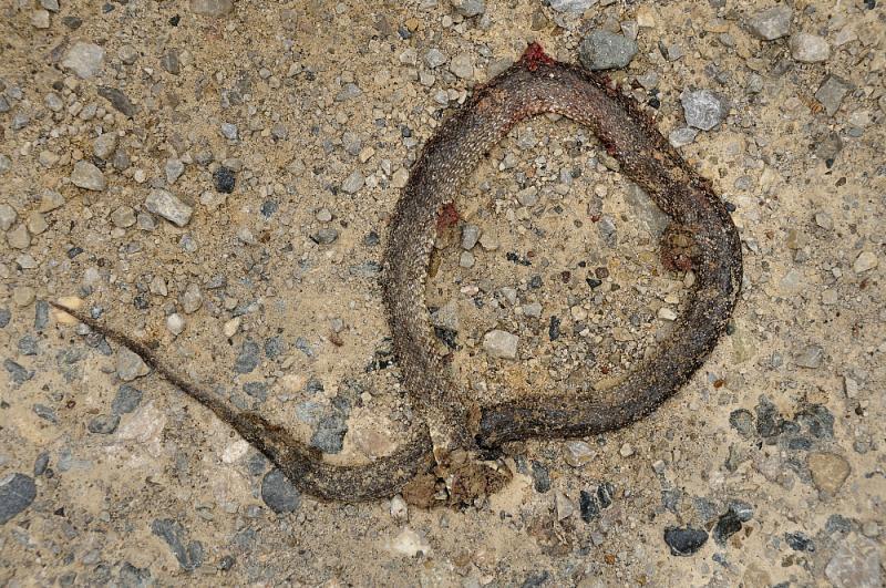 1.Užovka Zamenis longissimus přejetá na lesní cestě vKozaře.