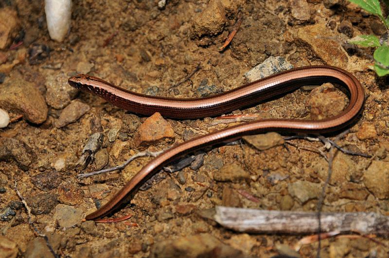 První nalezený slepýš Anguis fragilis s.l. zNP Kozara.