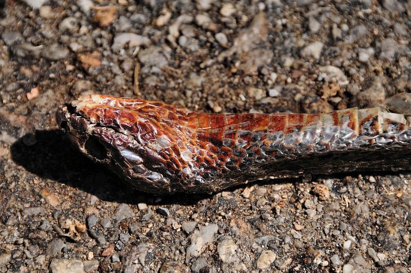 Dolichophis jugularis