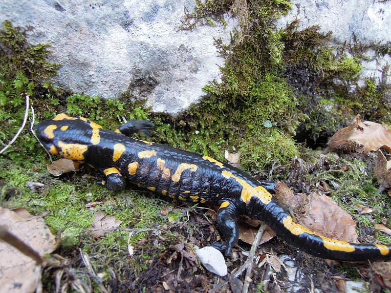 Salamandra salamandra