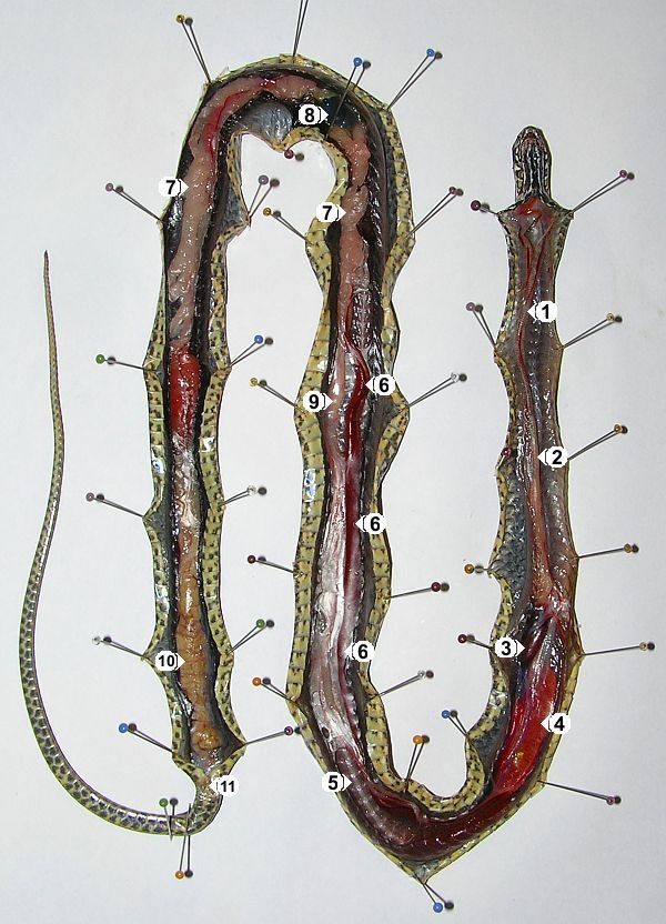Malpolon monspessulanus