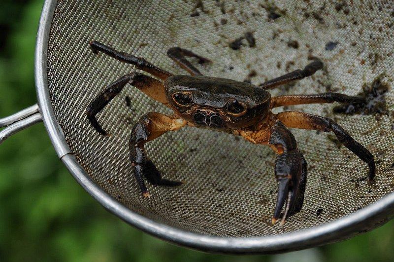 Suchozemský krab rodu Potamon