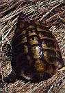 Želva zelenavá (Testudo hermanni boettgeri)