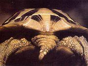 U želv druhu Testudo hermanni jsou jedinci s nerozděleným nadocasním štítkem spíše výjimkou. Na snímku je poddruh T. h. boettgeri.