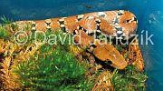Colegnathus helena monticollaris