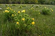 Posel jara krasových oblastí – hlaváček jarní (Adonis vernalis) vNPR Zádielská Tiesňava.