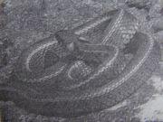 Natrix natrix persa