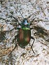 krajník Calosoma sycophanta