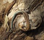 Anatololacerta oertzeni