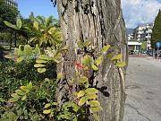 Podarcis peloponnesiacus