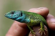 Lacerta viridis