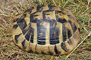 Samice Eurotestudo hermanni boetgerii nalezená poblíž řeky Veleky