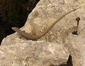 Dinarolacerta mosorensis