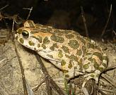 Pseudepidalea viridis