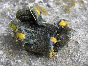 Bombina variegata
