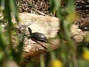 Emys orbicularis