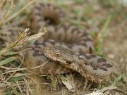 Jediný jedovatý had oblasti – zmije Vipera ammodytes montandoni