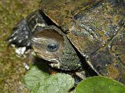 Detailní pohled na samici želvy Mauremys rivulata.