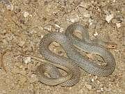 Dospělá samice štíhlovky Dolichophis caspius
