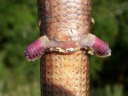 Pseudopus apodus - Izgrev