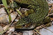Lacerta viridis z Velebitu.