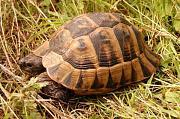 Dospělý exemplář želvy Testudo graeca ibera