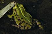 Pelophylax kl. esculentus