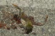 Pelophylax shqipericus