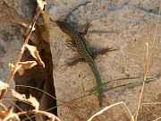 Podarcis cretensis