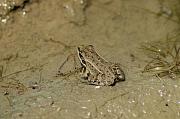Pelophylax epeiroticus