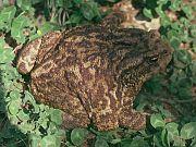 Bufo bufo spinosus