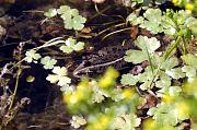 Pelophylax ridibundus
