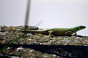 Podarcis siculus