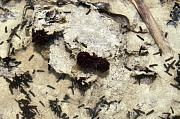 Mesotriton alpestris