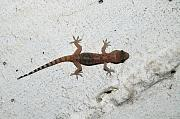Hemidactylus turcicus