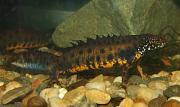 Triturus dobrogicus